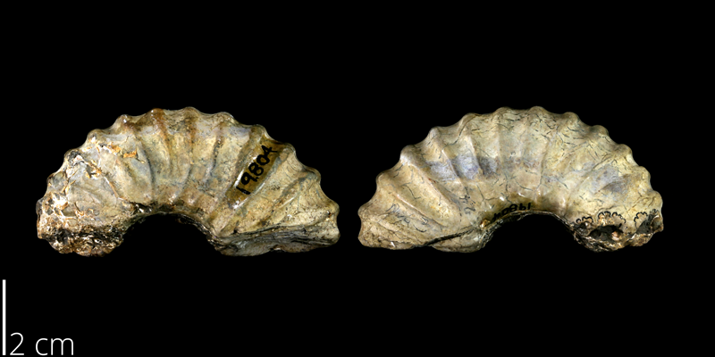 <i> Eucalycoceras dentonense </i> from the Late Cretaceous Britton Fm. of Denton County, Texas (UT 19804).