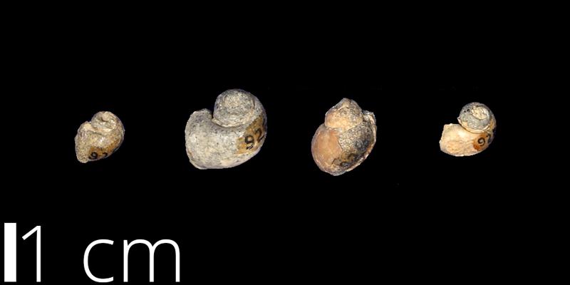 <i> Euspira subcrassa </i> from the Late Cretaceous Cliff House Sandstone Fm. of San Juan County, New Mexico (UNM 926).
