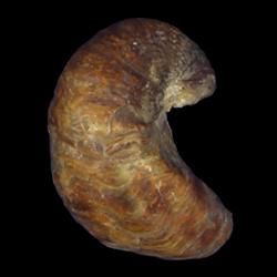 Exogyra arietina