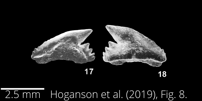 <i> Galeorhinus girardoti </i> from the Maastrichtian Fox Hills Fm. of North Dakota. Image is derived from Hoganson et al. (2019; Bulletins of American Paleontology No. 398) and is used here with permission of the Paleontological Research Institution, which retains the copyright.