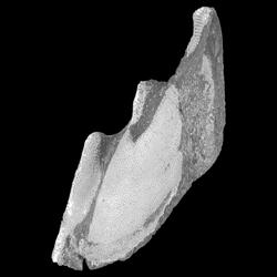 Callorhynchidae
