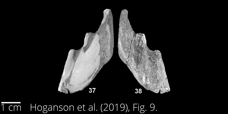 <i> Isychodus rayhassi </i> from the Maastrichtian Fox Hills Fm. of North Dakota. Image is derived from Hoganson et al. (2019; Bulletins of American Paleontology No. 398) and is used here with permission of the Paleontological Research Institution, which retains the copyright.