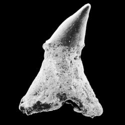 Sclerorhynchidae