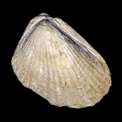Lima wacoensis