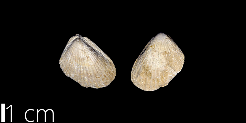 <i> Lima wacoensis </i> from the Albian Comanche Peak Limestone Fm. of Garza County, Texas (UNM 86).