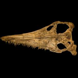 Megacephalosaurus eulerti