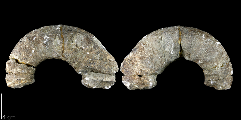 <i> Menabites belli </i> from the Late Cretaceous Burditt Marl Fm. of Travis County, Texas (UT 00013).