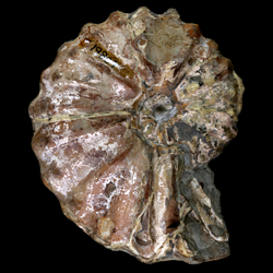 Metoicoceras ornatum