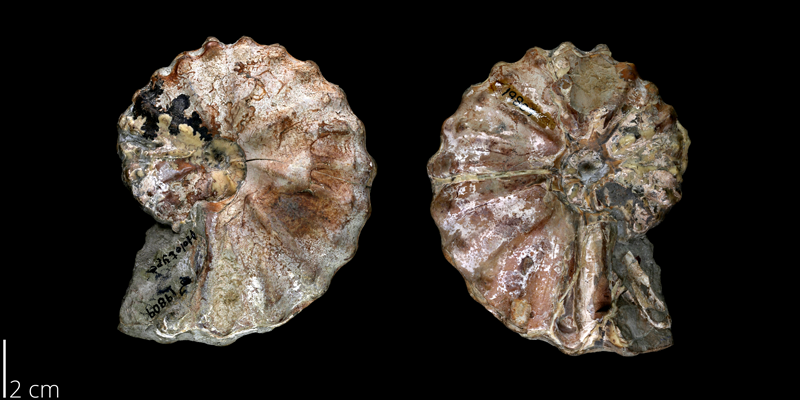 <i> Metoicoceras ornatum </i> from the Late Cretaceous Britton Fm. of Texas (BEG 19809).