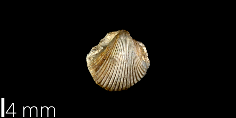 <i> Neithea boesei </i> from the Late Cretaceous Buda Limestone Fm. of Travis County, Texas (UT 30053).