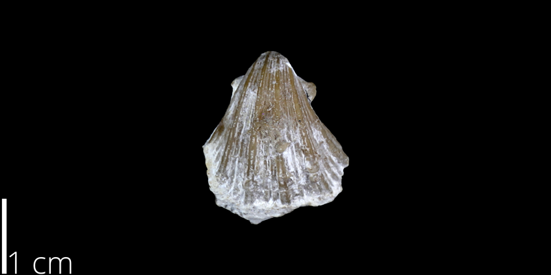 <i> Neithea budaensis </i> from the Cenomanian Buda Limestone Fm. of Travis County, Texas (UT 30063).
