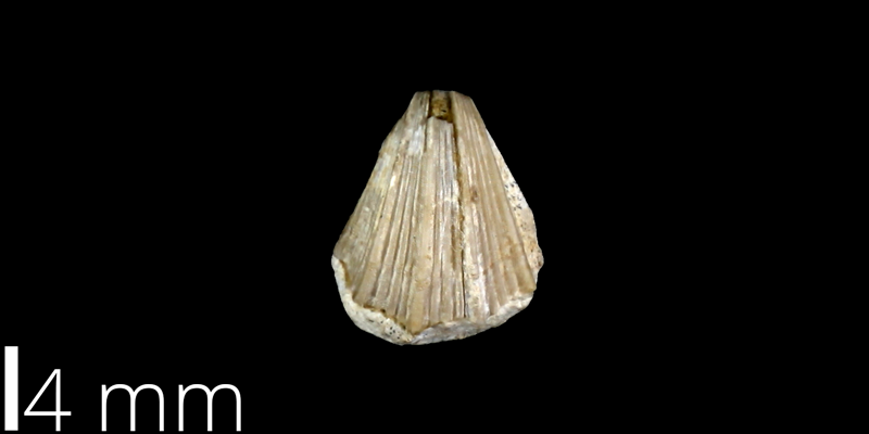 <i> Neithea hartmani </i> from the Late Cretaceous Pflugerville Fm. of Travis County, Texas (UT 30055).