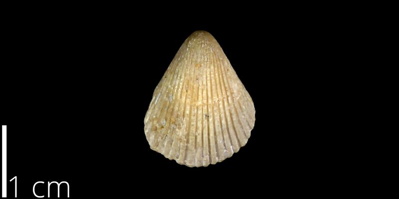 <i> Neithea simondsi </i> from the Late Cretaceous Buda Limestone Fm. of Travis County, Texas (UT 30045).