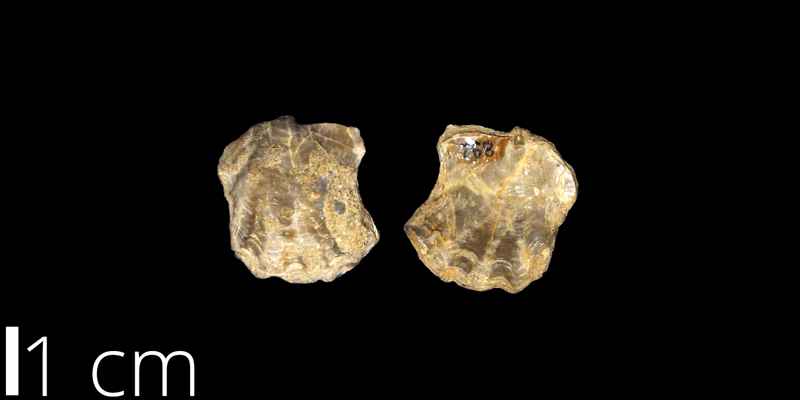 <i> Ostrea sannionis </i> from the Santonian/Campanian Mesaverde Fm. of Valencia County, New Mexico (UNM 892).