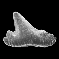 Palaeogaleus navarroiensis
