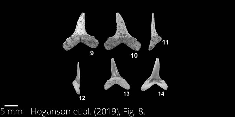 <i> Paranomotodon toddi </i> from the Maastrichtian Fox Hills Fm. of North Dakota. Image is derived from Hoganson et al. (2019; Bulletins of American Paleontology No. 398) and is used here with permission of the Paleontological Research Institution, which retains the copyright.