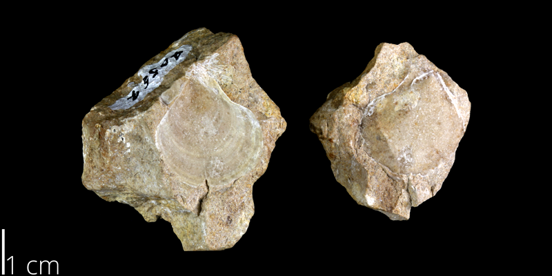 <i> Pecten siederensis </i> from the Late Cretaceous Buda Limestone Fm. of Travis County, Texas (UT 6919).
