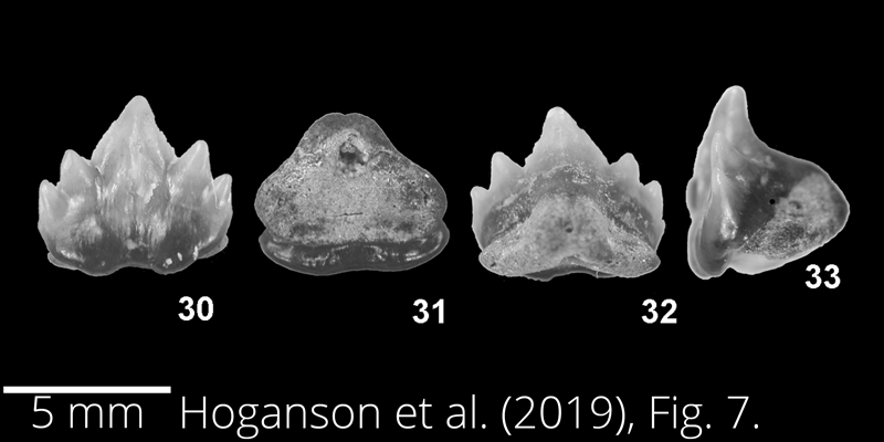 <i> Plicatoscyllium derameei </i> from the Maastrichtian Fox Hills Fm. of North Dakota. Image is derived from Hoganson et al. (2019; Bulletins of American Paleontology No. 398) and is used here with permission of the Paleontological Research Institution, which retains the copyright.