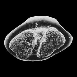 Protoplatyrhina