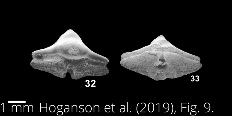 <i> Ptychotrygon greybullensis </i> from the Maastrichtian Fox Hills Fm. of North Dakota. Image is derived from Hoganson et al. (2019; Bulletins of American Paleontology No. 398) and is used here with permission of the Paleontological Research Institution, which retains the copyright.