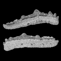 Synechodontiformes