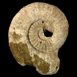 Texanites shiloensis
