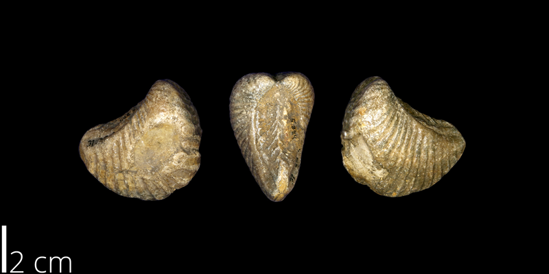 <i> Trigonia clavigera </i> from the Late Cretaceous Main Street Limestone Fm. of Denton County, Texas (UNM 5884).