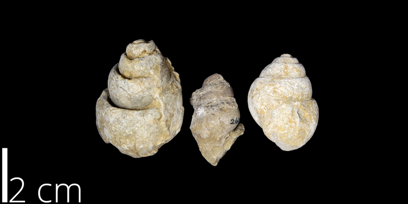 <i> Tylostoma mutobile </i> from the Albian Comanche Peak Limestone Fm. of Lubbock County, Texas (UNM 2604).