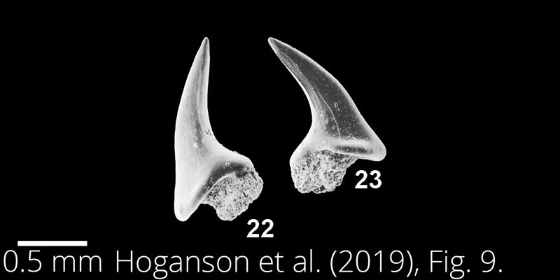 <i> Walteraja exigua </i> from the Maastrichtian Fox Hills Fm. of North Dakota. Image is derived from Hoganson et al. (2019; Bulletins of American Paleontology No. 398) and is used here with permission of the Paleontological Research Institution, which retains the copyright.